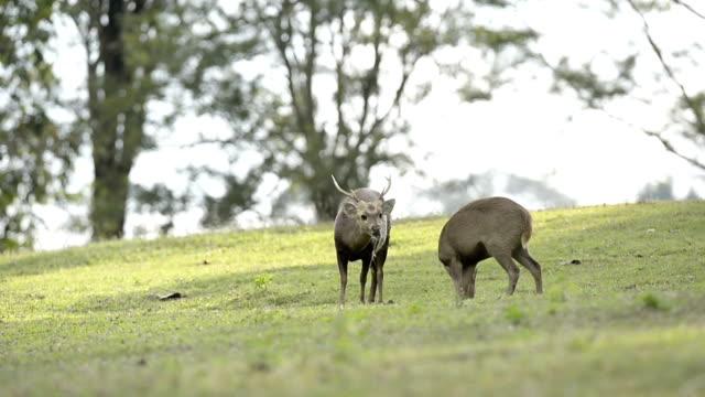 Wild hog deer in the forest video