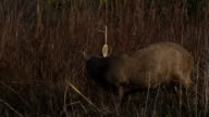 Wild hog deer in the forest video