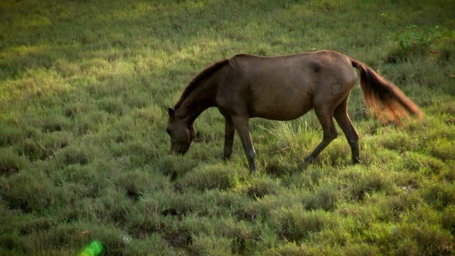 Wild horse by himself in the wild. Wild horse eating meadows video