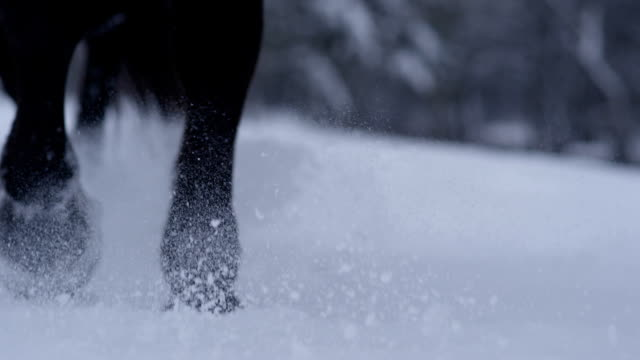 SLOW MOTION CLOSEUP: Wild horse walking through soft snow blanket in cold winter video