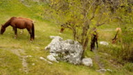 Wild horses graze in the mountains video
