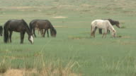 Wild Horses Grazing In The Rain video