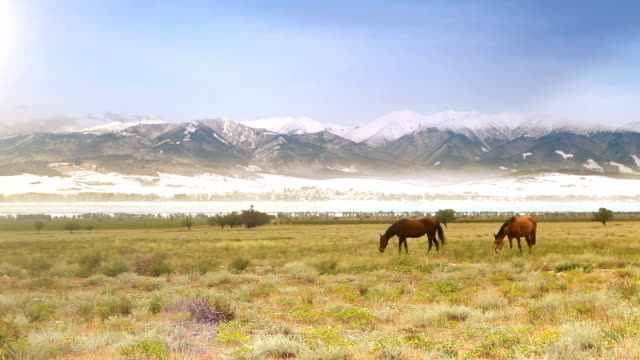 Wild horses grazing on the meadow at the foot of snow-covered mountains video