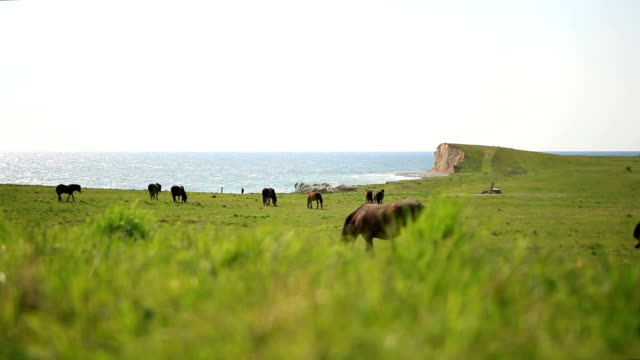 Wild horses grazing on the pasture at Dovns Klint cliffs video