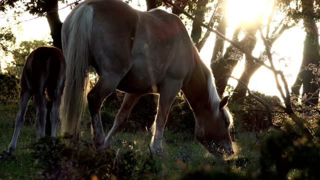 Wild horses in the forest at sundown video