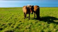 Wild horses on rural pasture video