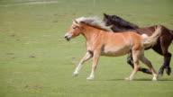 Wild horses running panning video video