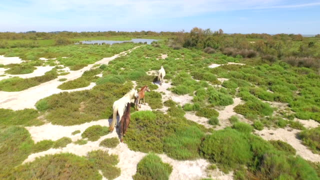 AERIAL: Wild horses walking towards the lake video