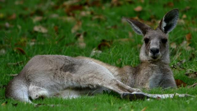 Wild Kangaroo resting video