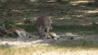 Wild Kangaroos at National Park video