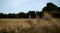 Wild kangaroos video