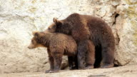 Wild Life Mating Brown Bears video