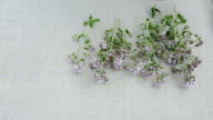 wild majoram fresh herbs on linen cloth video