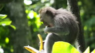 Wild Monkey Eating a Banana in the Forest video