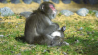 Wild mother Japanese macaque grooming it's baby with attending surround video