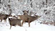 Wild mule deer herd stag feed winter snow Littleton Colorado video