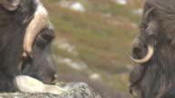 wild musk ox video