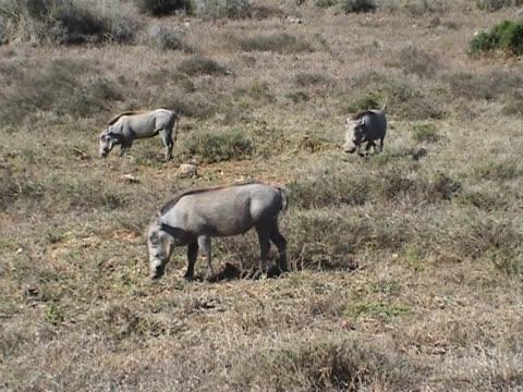 Wild pigs grazing video