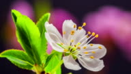 Wild plum Flower blooming against black background in a time lapse movie. Prunus cerasifera growing in moving time lapse. video