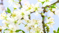 Wild plum Flower blooming against blue background in a time lapse movie. Prunus cerasifera growing in moving time lapse. video