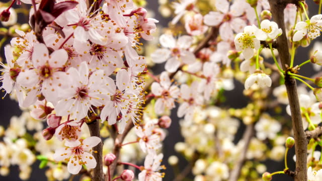 Wild plum flower blooming - time lapse against black background video