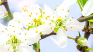 Wild plum flower blooming in a time lapse against blue background video