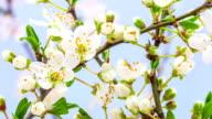 Wild plum flower blooming video
