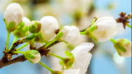 Wild plum flower blooming video