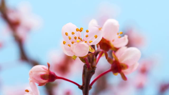Wild plum flower video