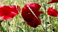 Wild poppies swaying in the wind video