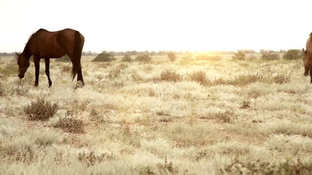 Wild prairie feeding horses video
