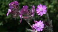 Wild purple flower moving in a gentle breeze video
