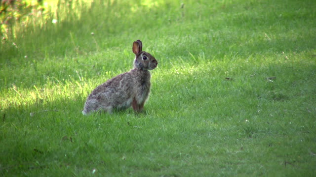 Wild rabbit sits in field, ready to run (High Definition) video