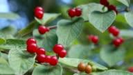 Wild red Honeysuckle berries video