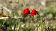 wild red poppies in the field video