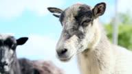 Wild Sheep video