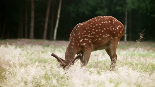 Wild spotted deer grazing video