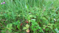 Wild strawberries grew in a forest glade. The berries have ripened and turned red. video