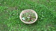 Wild strawberries in wicker basket video
