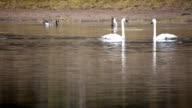 Wild Swans and Canada Geese video