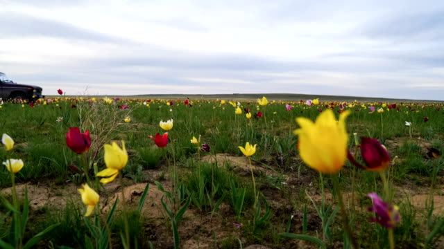 Wild tulips in a sunny meadow on background sky. Sunrise. The steppe comes to life in the spring. video