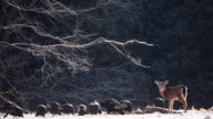 Wild Turkey and White-tailed Deer feeding in winter video