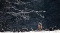Wild Turkey and White-tailed Deer feeding video