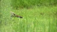 wild turkey chicks video