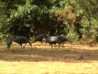 wild turkeys video