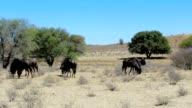 wild Wildebeest Gnu grazing video