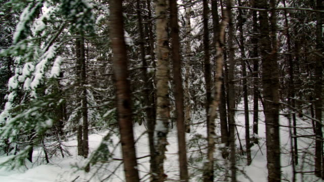 Wild Winter Forest of Spruce, Fir and a few Pine video