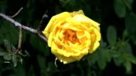 Wild yellow rose close video