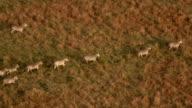 CLOSE UP: Wild zebras galloping in line across savannah field at golden sunset video