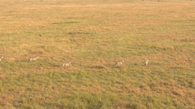 AERIAL: Wild zebras in big herd running in line across savanna field at sunset video